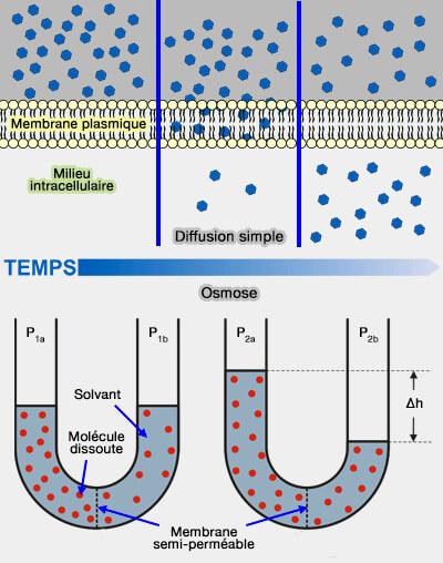 transport membranaire   transports sans mouvements
